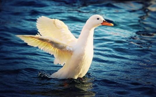 Duck-Amazing