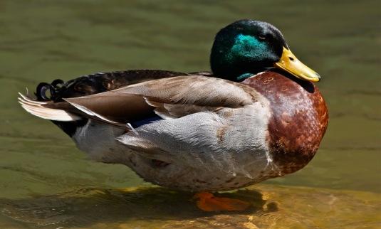fat-duck