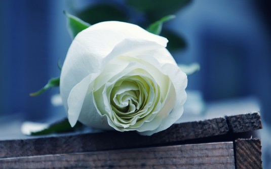 White-Roses3015